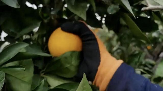 El aroma de los cítricos se mezcla con el olor a lluvia