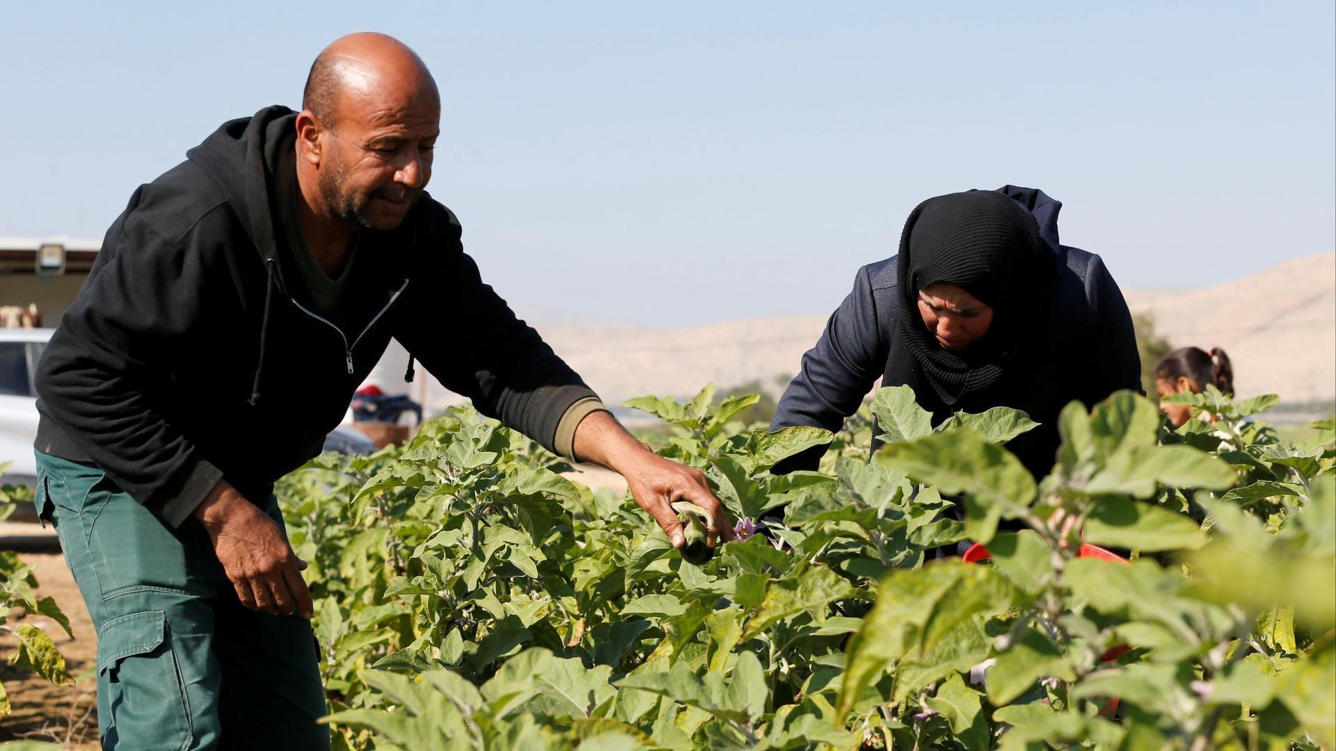 Agricultores palestinos recogen berenjenas en la aldea de Al-Jiftlik