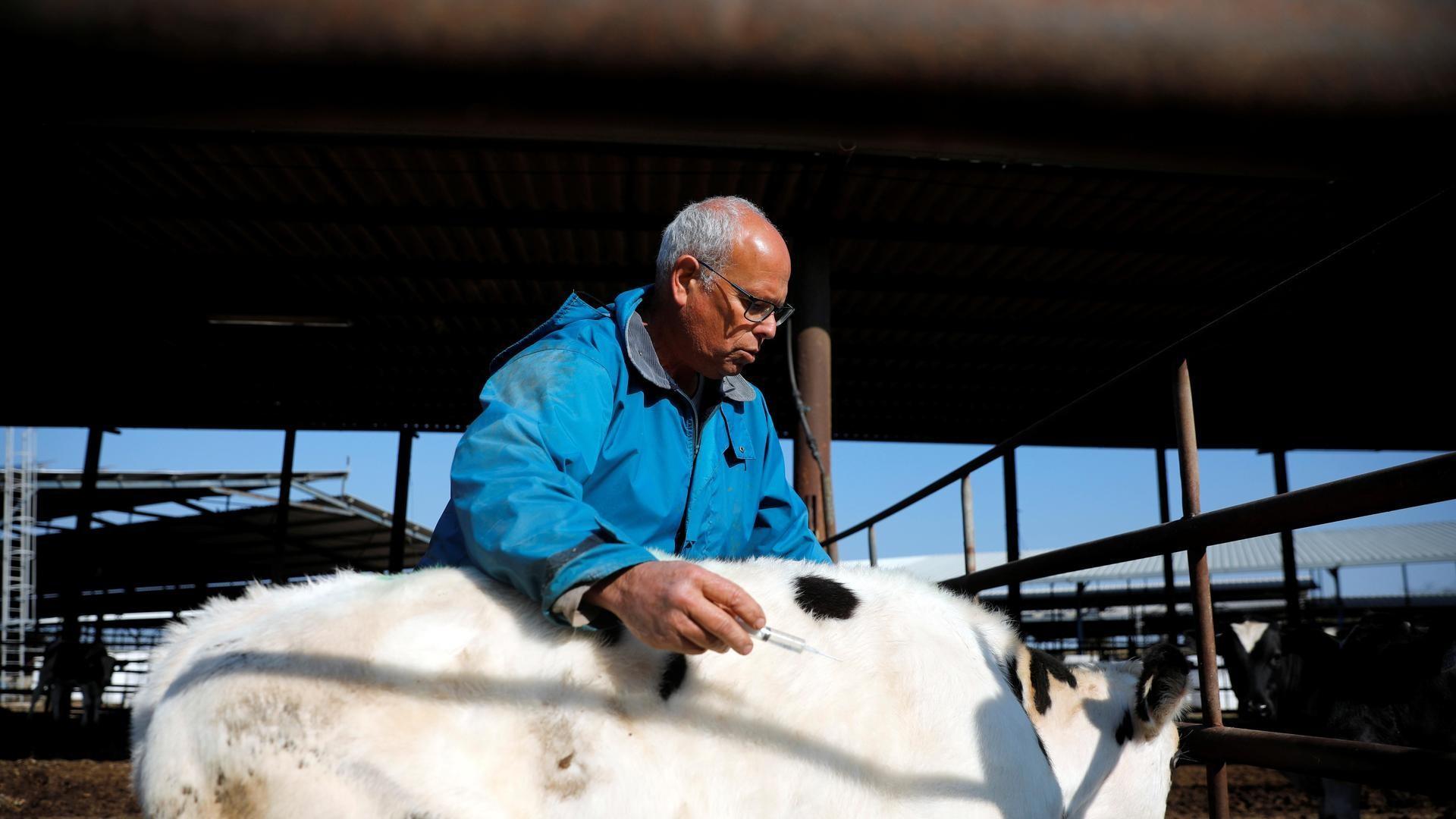 El granjero israelí Guy Golan atiende a una vaca en su granja en Beer Tuvia