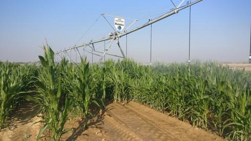 Este riego por aspersión de maíz en el Centro de Investigación Gilat en el Néguev usa datos para la toma de decisiones de precisión.