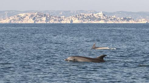 Delfines en el mar Mediterráneo.
