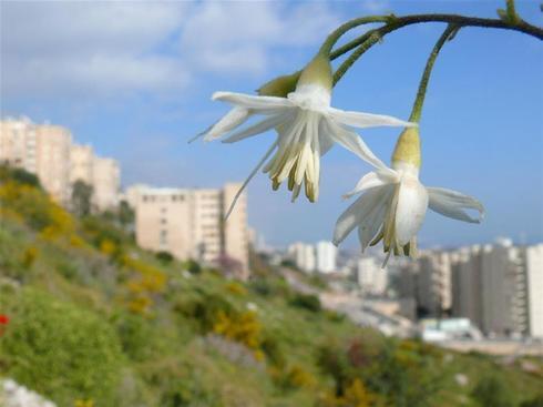 Planta medicinal en las pendientes verdes del barrio Neve Shahanan, en Haifa.