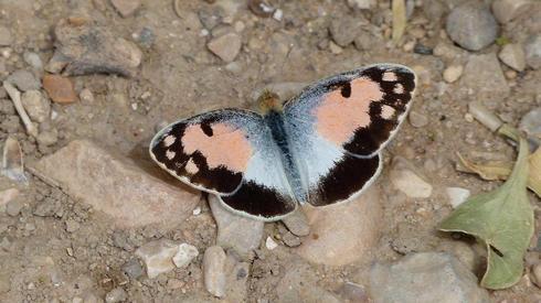 La mariposa árabe de manchas azules.