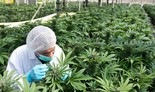 Mejor granja de cannabis de Israel.