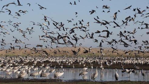 Una enorme bandada de grullas en la reserva natural israelí de Hahula