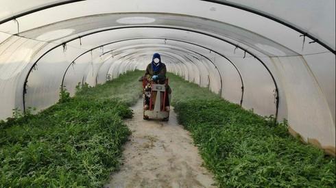 Cultivo de sandías en el sur de Israel.
