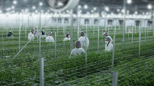 Israel produce cada año 25 toneladas de cannabis para fines medicinales.