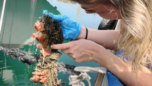 Tunicata probada en la investigación.
