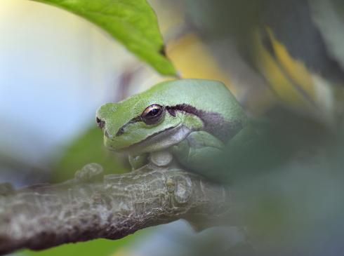 La rana arborícola del Medio Oriente.