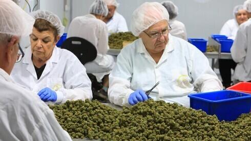 Procesamiento de cannabis medicinal.