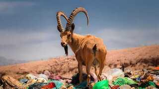 Una cabra silvestre se alimenta de desechos en un Parque Nacional de Israel.