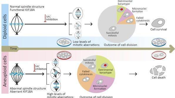 Un gráfico presentado por la Universidad del Estudio sobre la investigación en la que se descubrieron vulnerabilidades en las células cancerosas.