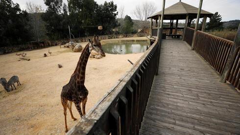 Una jirafa al lado de un camino vacío en el Zoológico bíblico de Jerusalem.