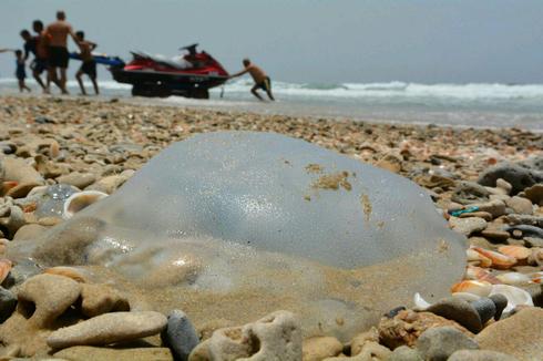Según el doctor Zafrir Kuplic, las medusas desaparecerán de las playas israelíes en agosto.
