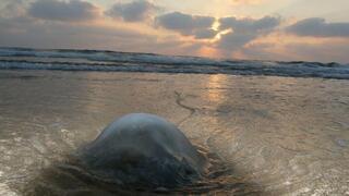 Una medusa en Rishon Lezion.