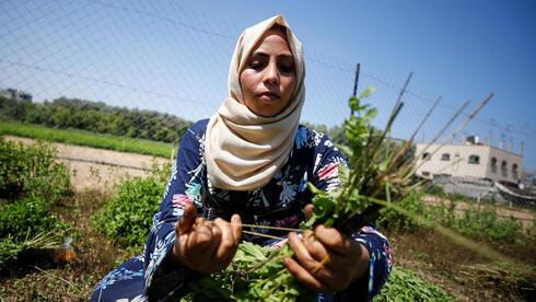 Una mujer palestina recolecta menta en la tierra de su familia, en la ciudad de Beit Lahiya, en el norte de Gaza.