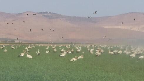 Las cigüeñas blancas disfrutan de la comida y el agua como el resto en los campos del norte de Israel antes de continuar hacia el sur durante el invierno.