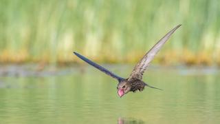 """""""Sedienta"""", imagen ganadora de la categoría """"Aves en vuelo""""."""